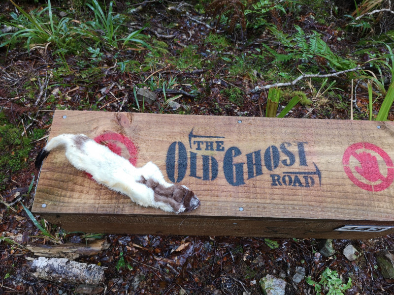 OGR Albino Stoat Lyell Saddle Hut Kill credit The Old Ghost Road